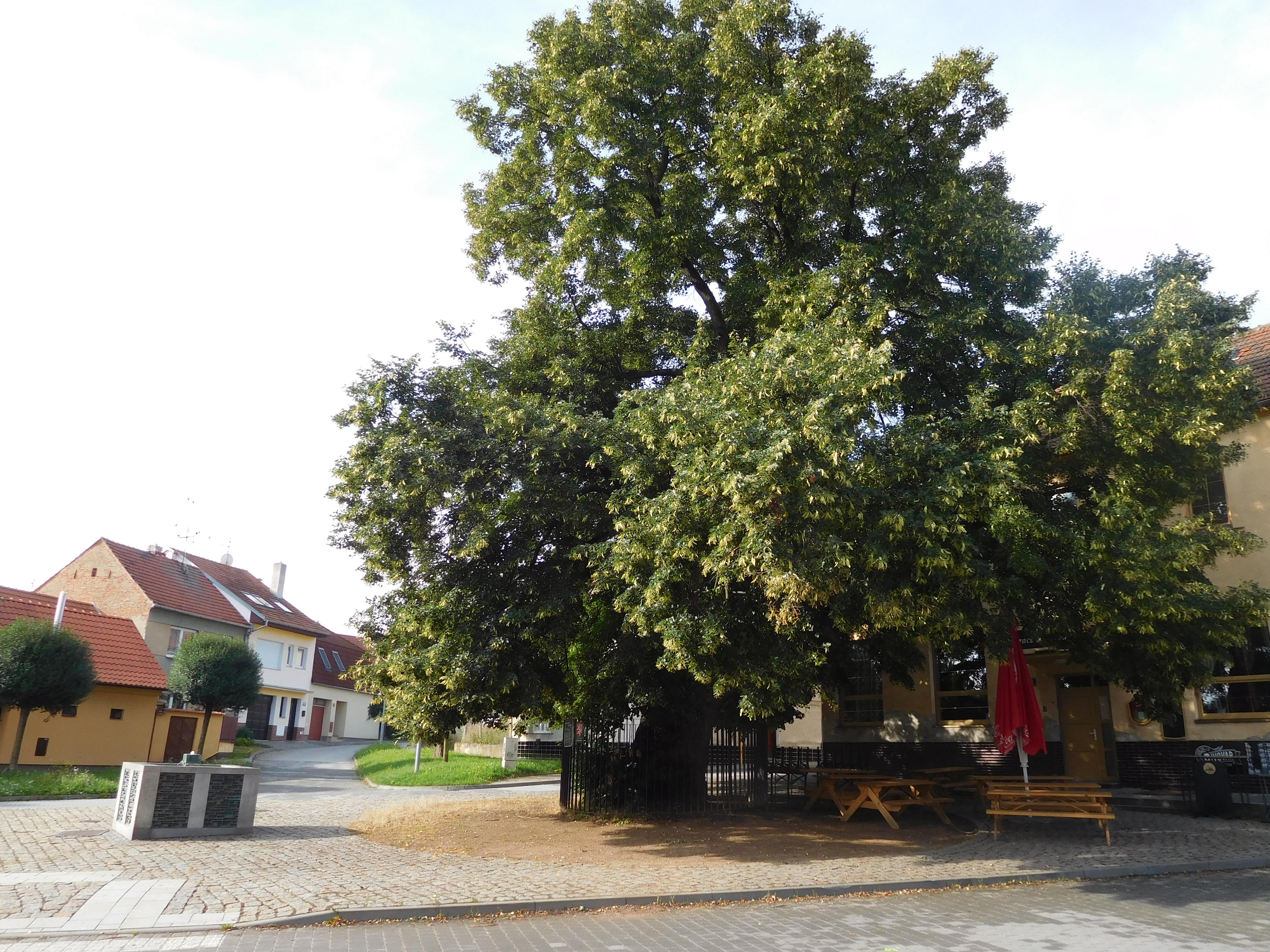 Nejstarší strom v Brně – ZAJÍMAVOST DNE